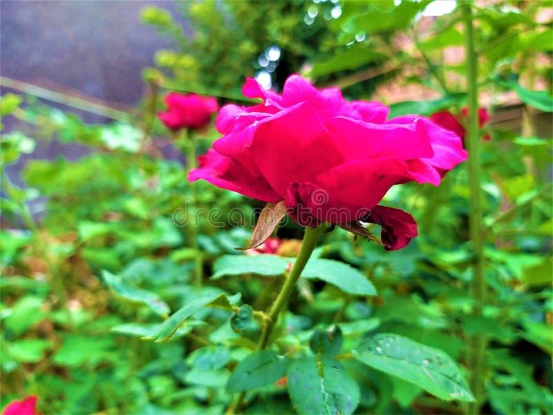 Взгляд со стороны красивой красной розы & зеленых листьев стоковое фото rf