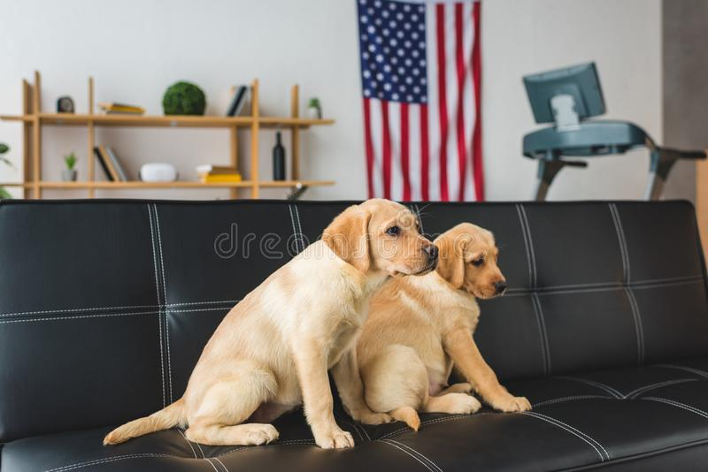 Взгляд со стороны сидеть 2 бежевый щенят иллюстрация вектора