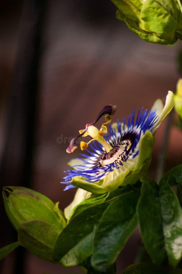 Взгляд со стороны цветка страсти стоковое фото