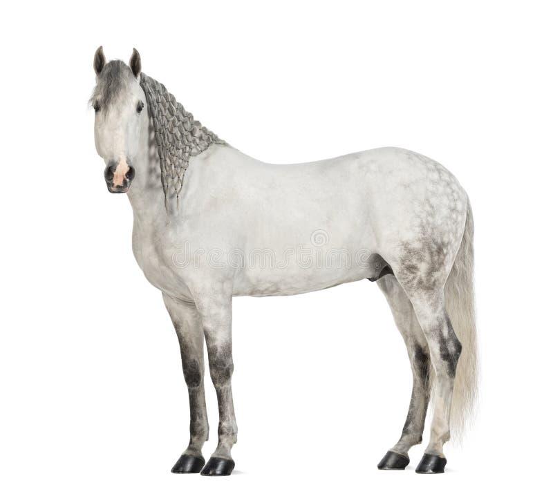 Взгляд со стороны Andalusian при заплетенная грива, 7 лет мужчины старых, также известная как чисто испанская лошадь или PRE стоковые изображения