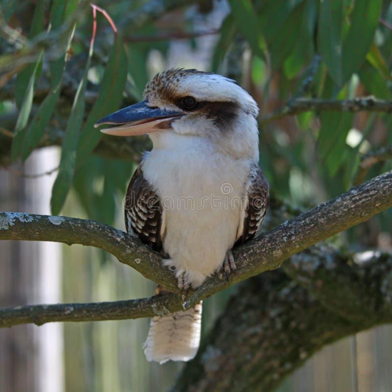 Взгляд со стороны Kookaburra стоковые фото