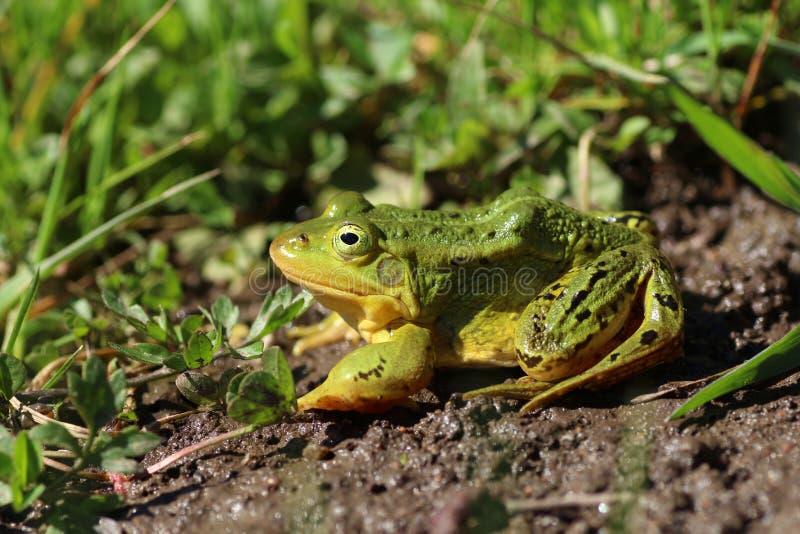 Взгляд со стороны lessonae Раны зеленой лягушки стоковые фотографии rf
