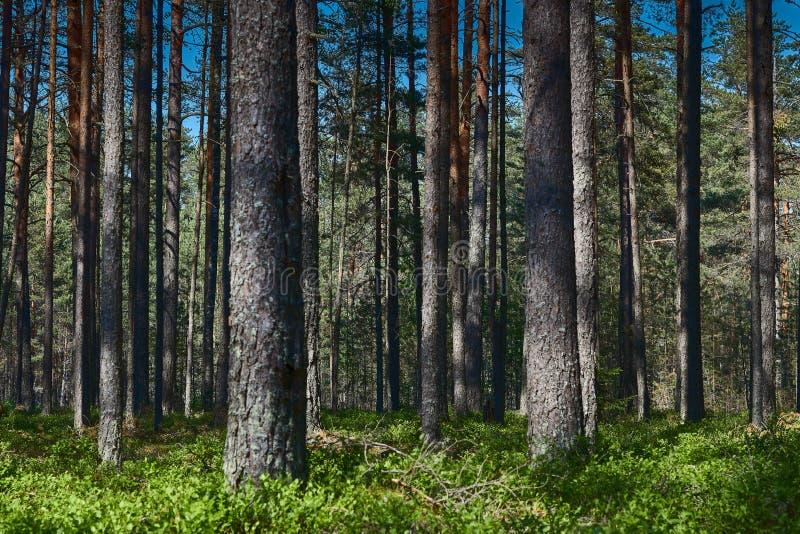 Взгляд темного леса летом Русская природа леса России Россия, регион Kaluga стоковое изображение rf