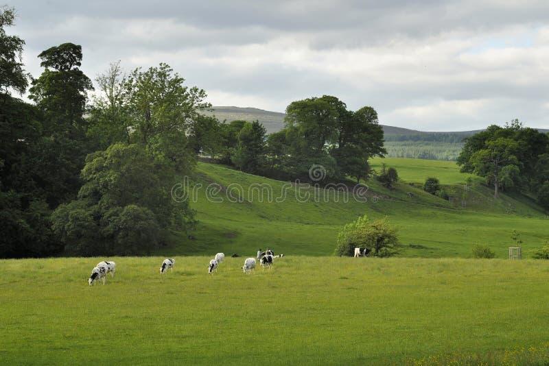 взгляд тропки холмов коров сельской местности английский стоковое фото rf