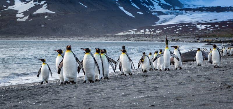Взгляд уровня глаз стада пингвинов короля идя на край воды в заливе Сент-Эндрюса стоковые фото