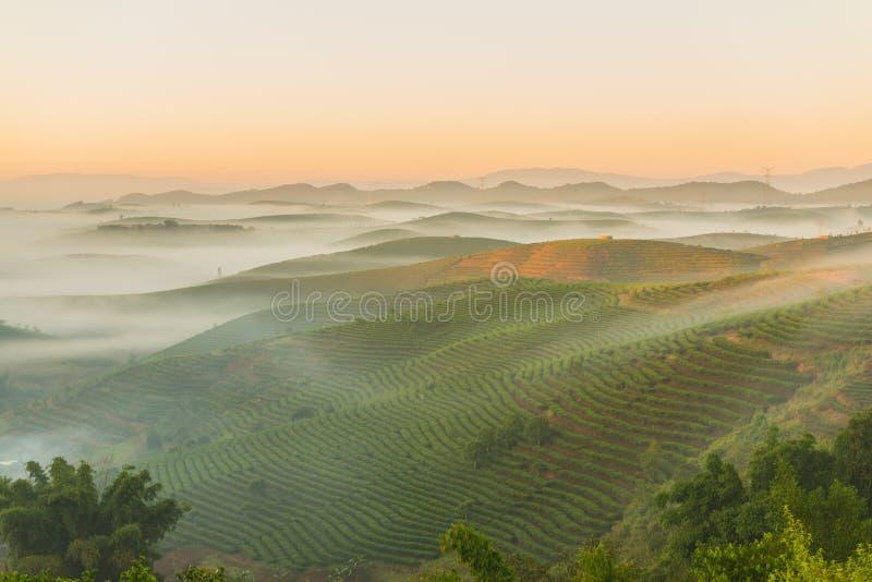 Взгляд утра провинции Юньнань полей чая стоковые фотографии rf