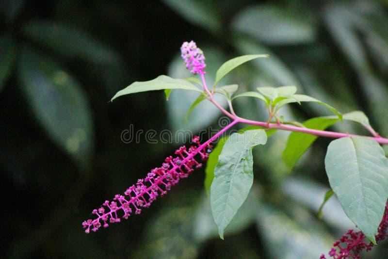 Взгляд цветков pokeweed стоковое фото