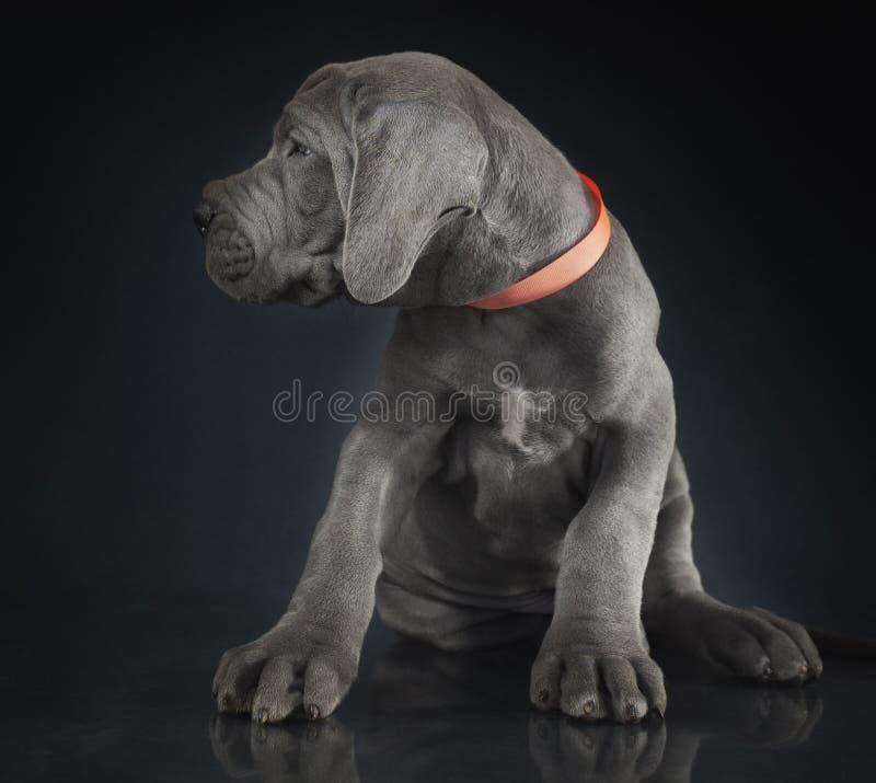 Взгляд щенка большого датчанина стоковая фотография