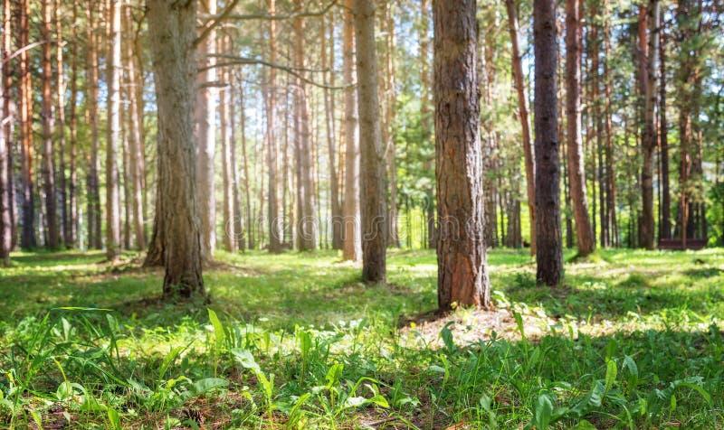 Взгляд Coniferous леса, малая глубина уровня земли поля стоковые фото