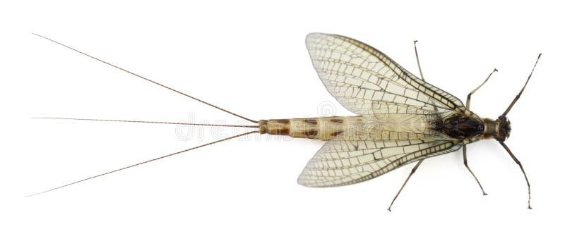 взгляд mayfly ephemera danica угла высокий стоковые изображения rf