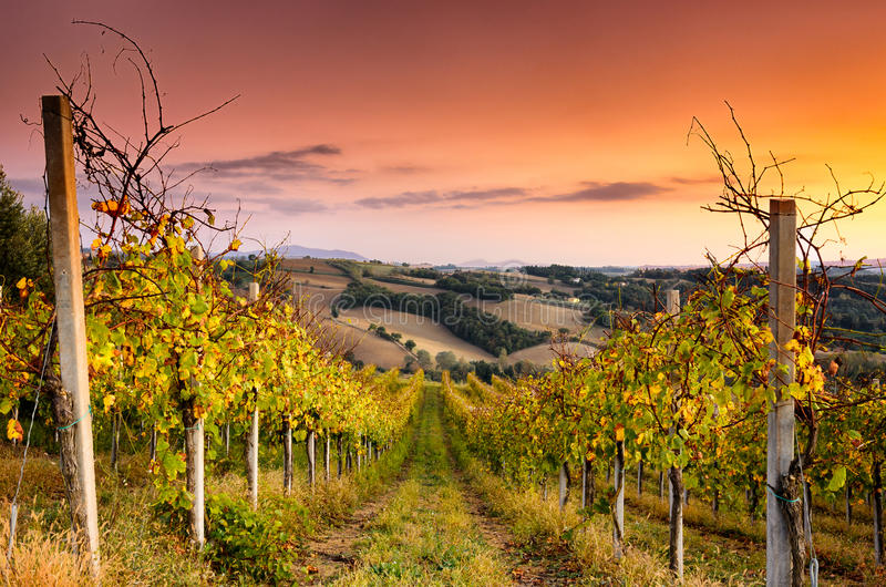 Взгляд виноградника в Сан Terenziano стоковые фотографии rf