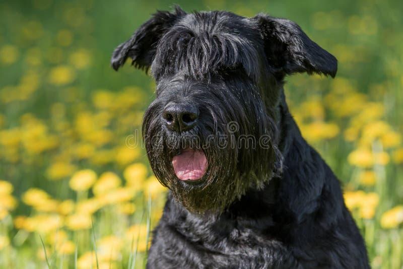Взгляд крупного плана головы гигантской черной собаки шнауцера стоковая фотография rf