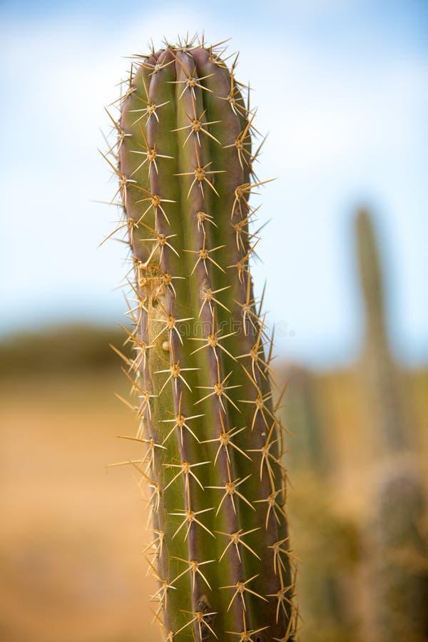 Взгляд крупного плана кактуса в Ла Guajira стоковые фотографии rf