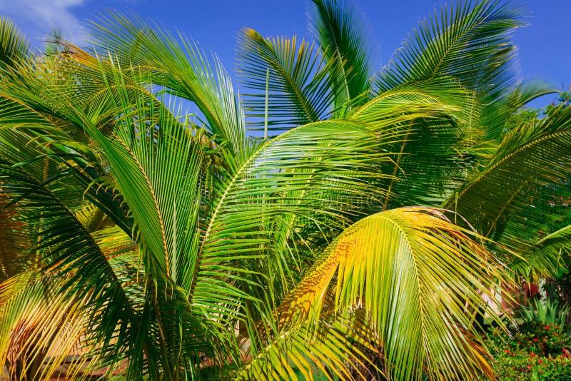 Взгляд крупного плана пушистой пальмы листает в тропическом саде против предпосылки голубого неба стоковое изображение rf