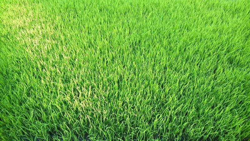 Взгляд молодого ростка риса готового к расти в поле риса стоковые изображения rf