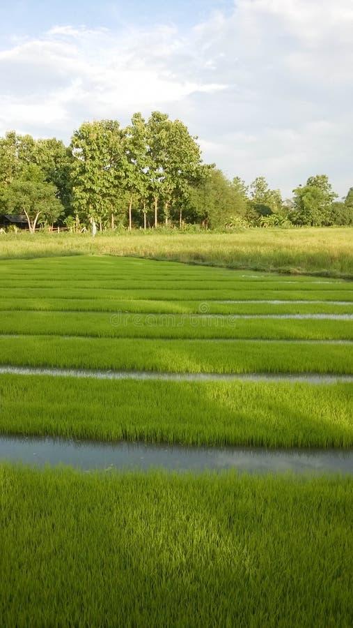 Взгляд молодого ростка риса готового к расти в поле риса стоковые фото