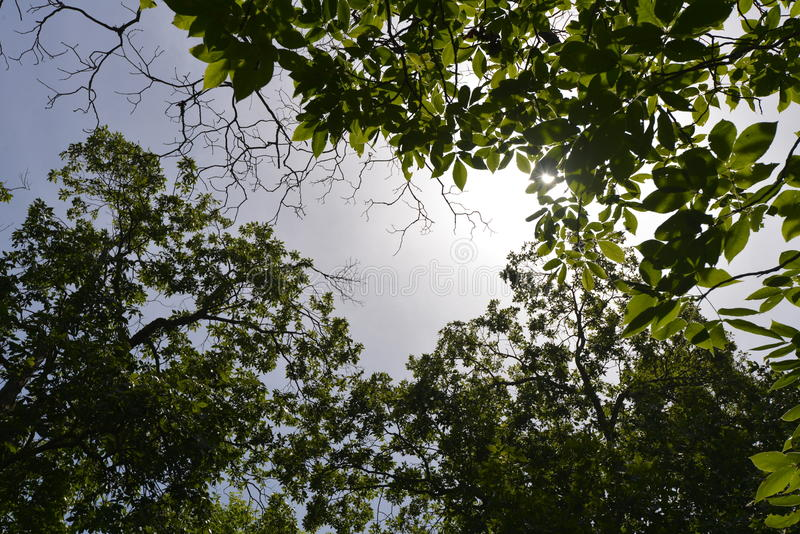 Взгляд до сени дерева к Солнцю и голубому небу стоковая фотография rf