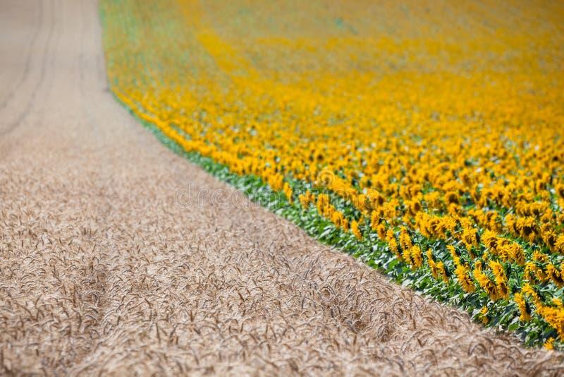 Взгляд полей хлопьев и солнцецветов стоковые изображения