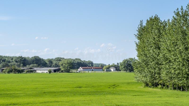 Взгляд поля зерна с фермой на заднем плане стоковые изображения rf