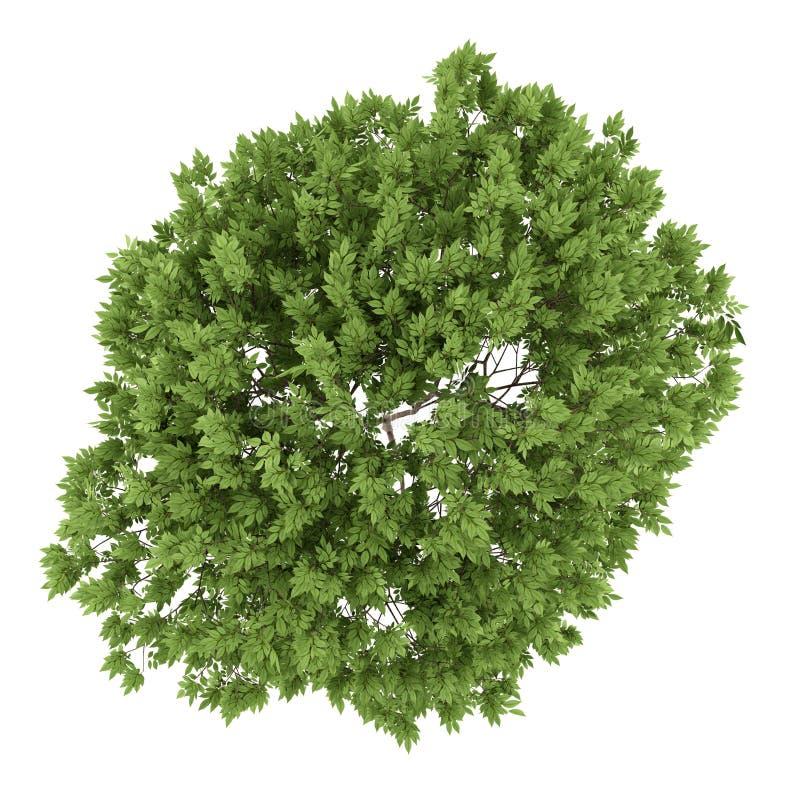 взгляд сверху дерева elderberry изолированное на белизне иллюстрация вектора