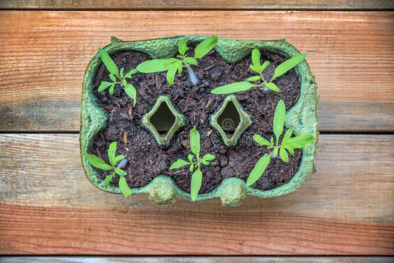 Взгляд сверху саженцев томата в рециркулированной коробке яичка, домодельная садовничая концепция стоковые изображения rf