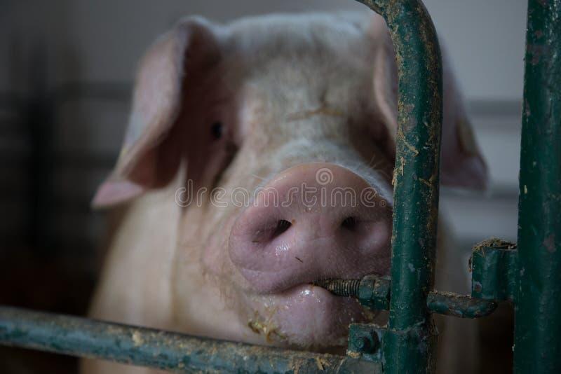 Взгляд свиней стоковое фото rf