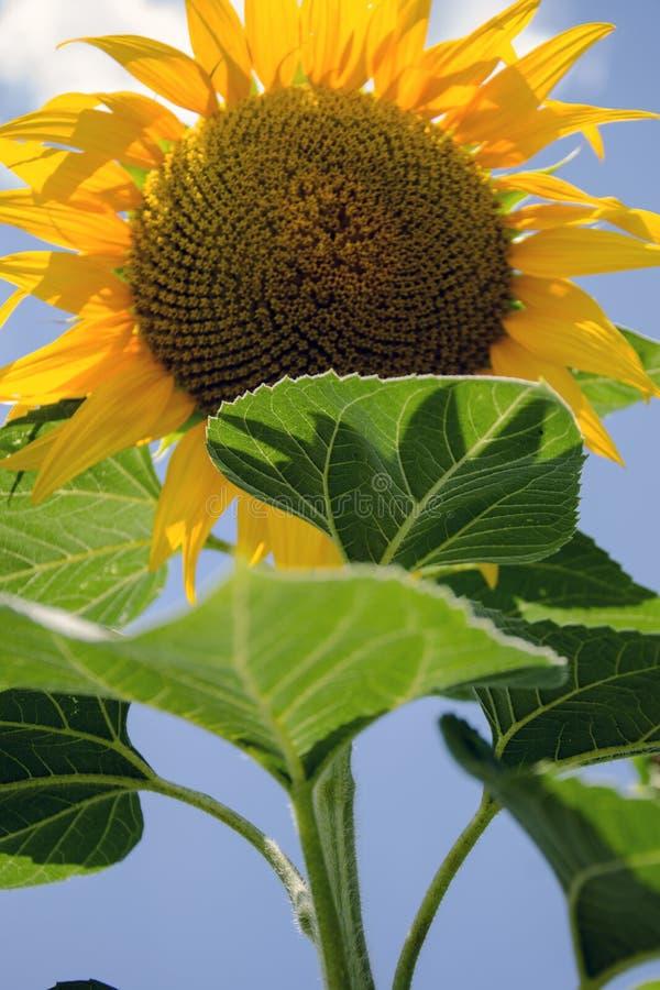 Взгляд солнцецвета снизу стоковая фотография rf