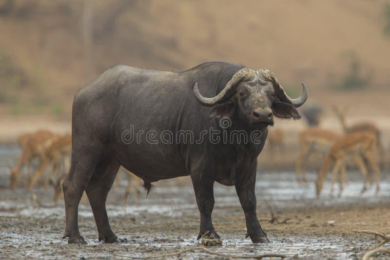 Взгляд со стороны африканского быка буйвола (caffer Syncerus) стоковое изображение
