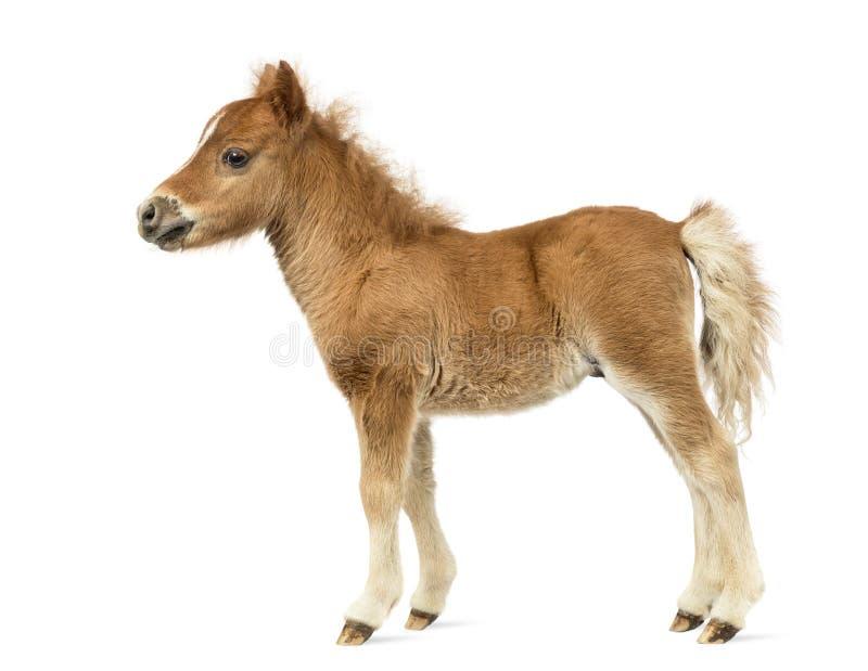 Взгляд со стороны молодого poney, осленок против белой предпосылки стоковые изображения rf