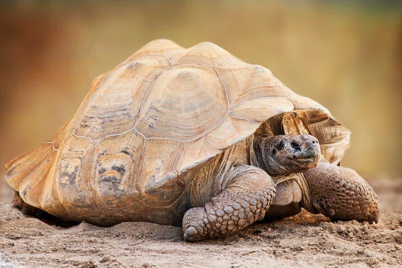 Взгляд со стороны черепахи Галапагос стоковые изображения rf