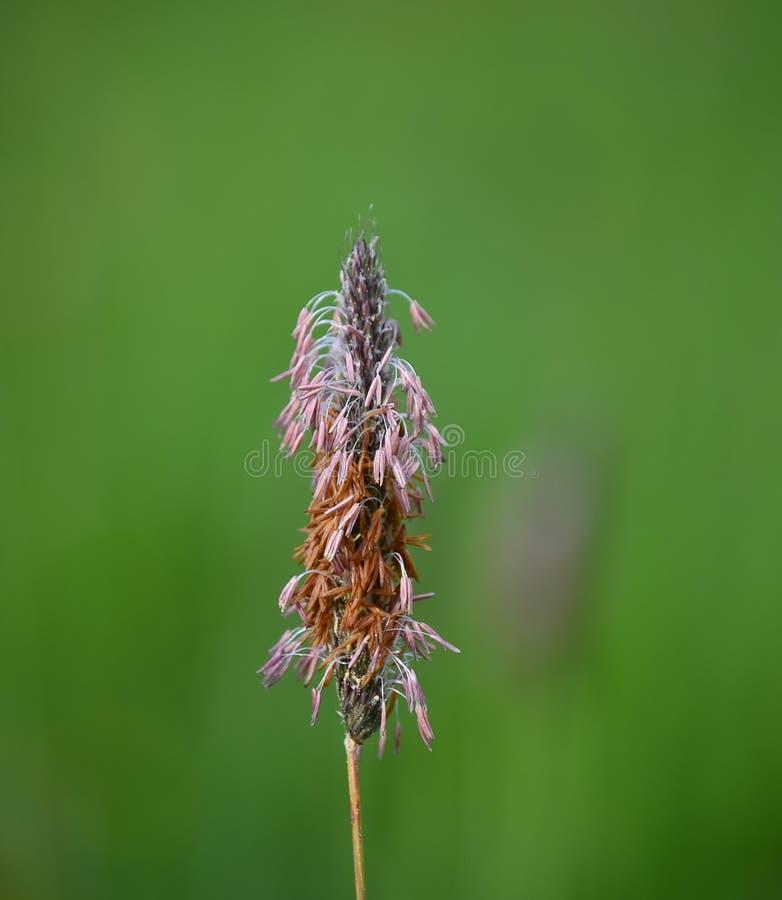 Взгляд цветя Тимоти, южной Богемии стоковое фото rf