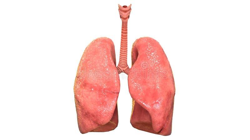 Взгляд человеческой дыхательной анатомии системы легких Anterior иллюстрация вектора