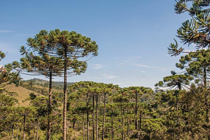 Взгляд treetops в середине соснового леса в Horto Florestal, около Campos делает Jordão стоковые фото