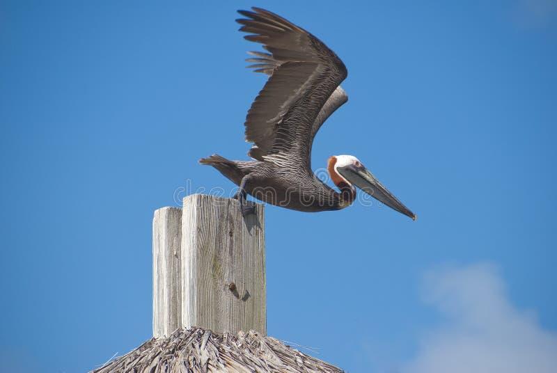 взлет пеликана готовый стоковое фото rf