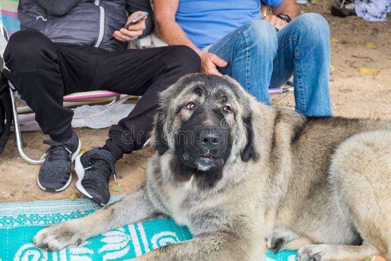 Взрослая большая кавказская собака чабана кладет на сор стоковые фото