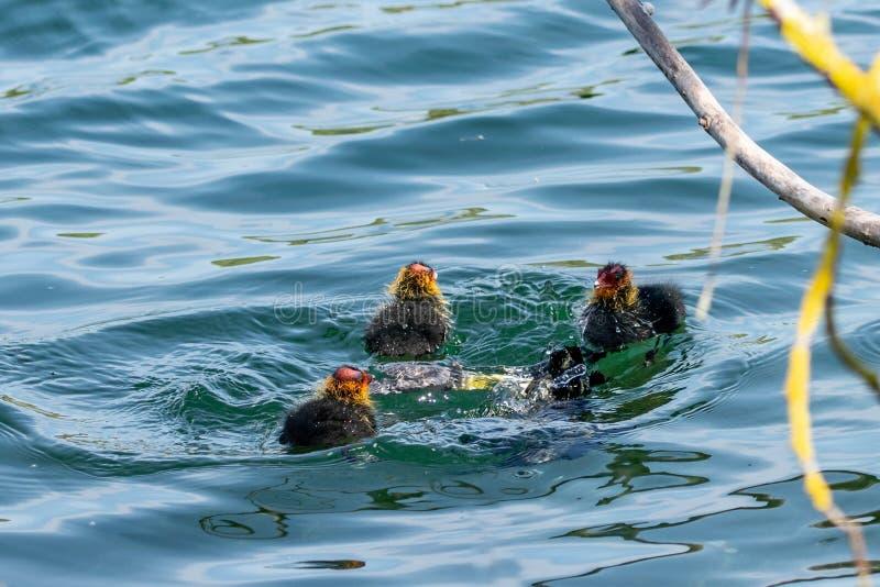 Взрослая камышница нырнула под поверхностью воды по мере того как утята смотрят дальше стоковое фото rf