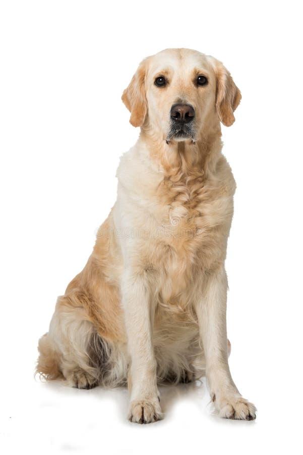 Взрослая собака золотого retriever сидя на белой предпосылке стоковые фото
