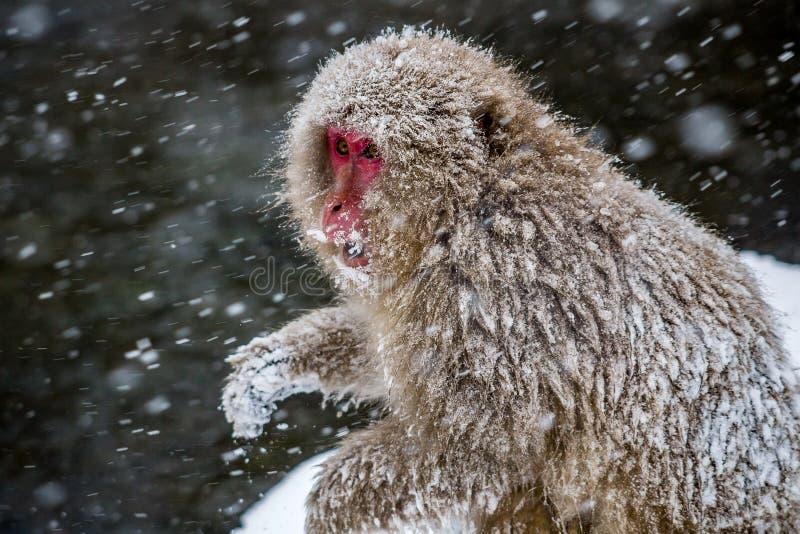 Взрослая японская макака в снеге стоковые изображения
