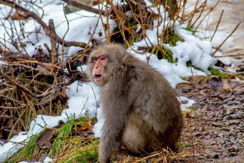 Взрослая японская макака, или обезьяна снега стоковое фото