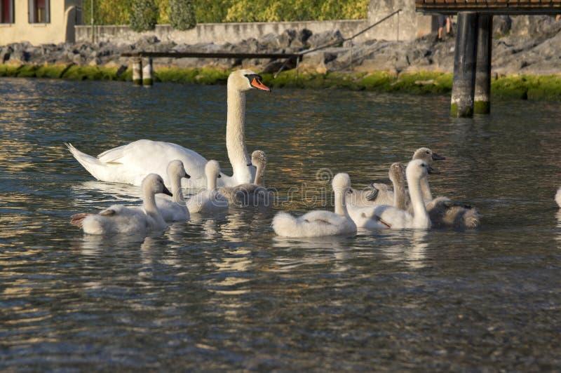 Взрослые лебеди и дети лебедя на озере Lago di Garda, Италии стоковые изображения