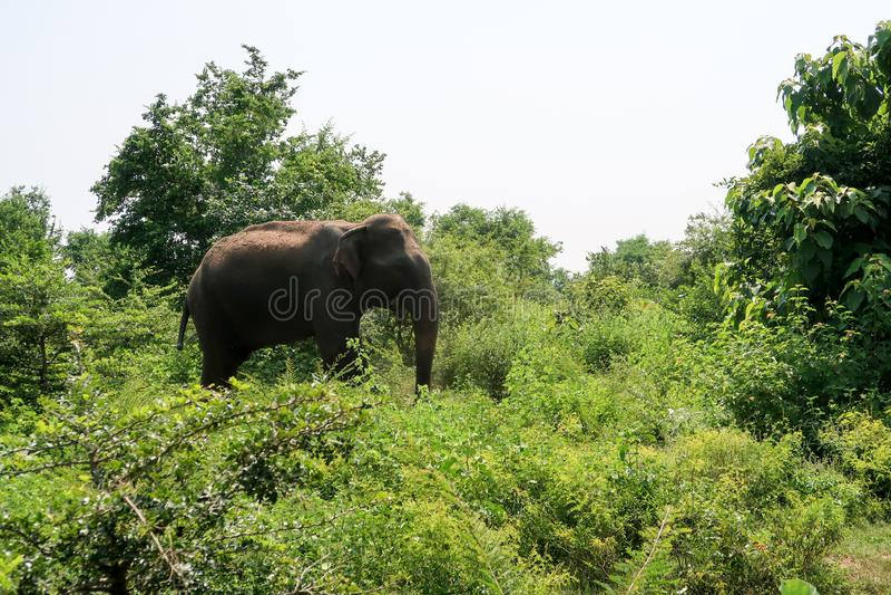 Взрослый азиатский слон внутри национального парка udawalawe, Шри-Ланка стоковое фото rf