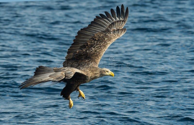 Взрослый Бело-замкнул рыбную ловлю орла r Научное имя: Albicilla Haliaeetus, также известное как ern, erne, серое стоковые фото