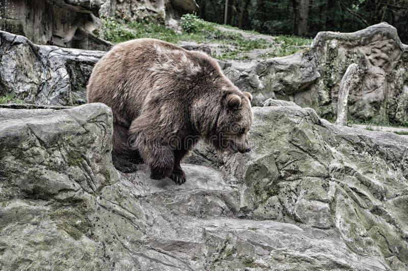 Взрослый бурый медведь в окружающей среде Права животных Дружелюбный бурый медведь идя в зоопарк Милый Big Bear каменистый стоковые изображения