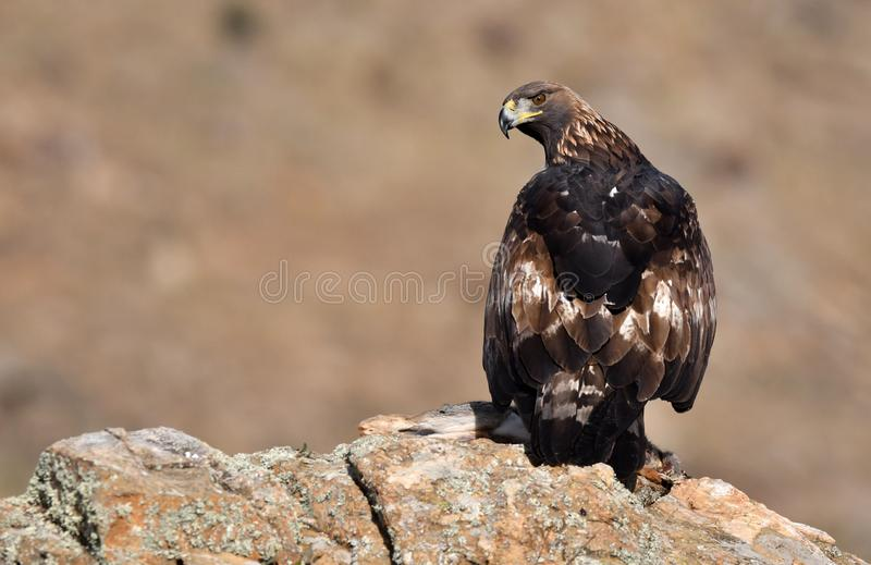 Взрослый королевский орел с добычей на утесе стоковые изображения rf