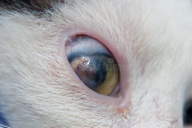 Взрослый кот с роговичным гнойником стоковая фотография rf