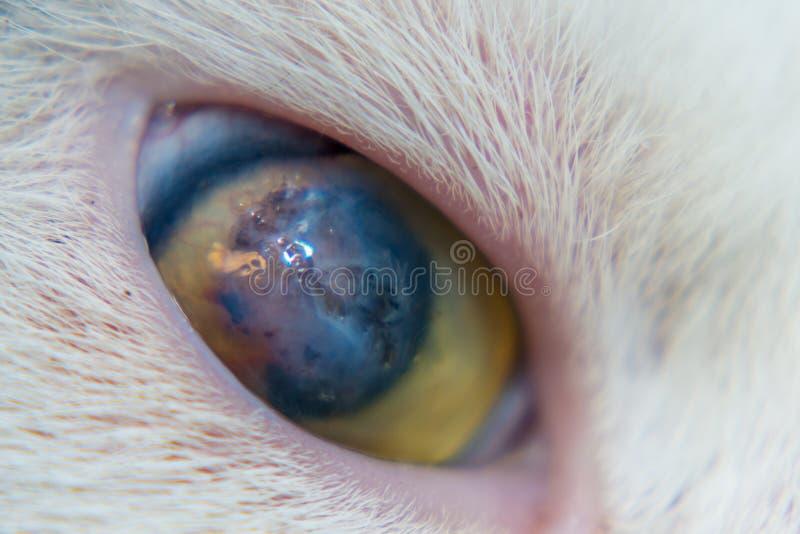 Взрослый кот с роговичным гнойником стоковые изображения rf