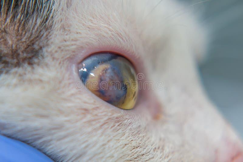 Взрослый кот с роговичным гнойником стоковое изображение