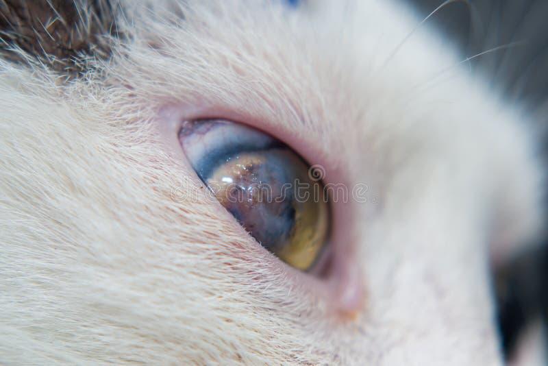 Взрослый кот с роговичным гнойником стоковые фото