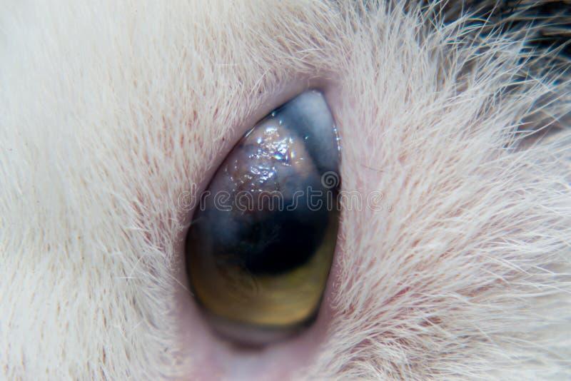 Взрослый кот с роговичным гнойником стоковые изображения