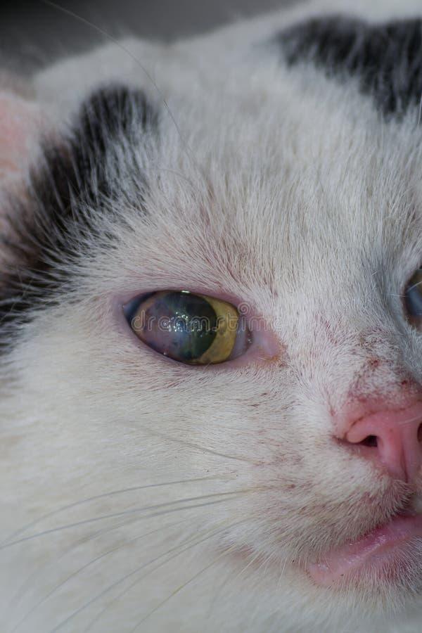 Взрослый кот с роговичным гнойником стоковые фотографии rf
